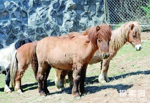 世界上最矮的马,迷你马,身高仅82厘米(口袋大小)