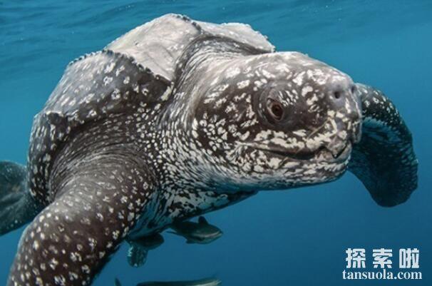 世界上最大的乌龟:棱皮龟(长度2.7米/重量916公斤)