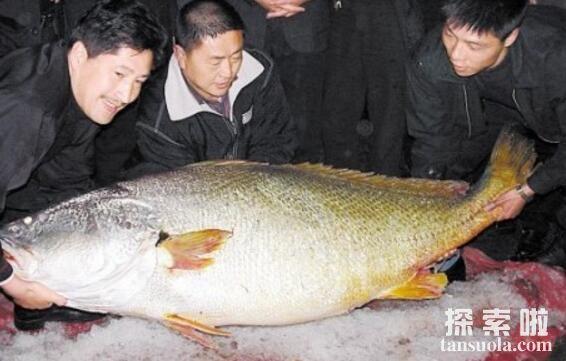 世界上最贵的食用鱼:金枪鱼,一条售价1190万人民币(图3)