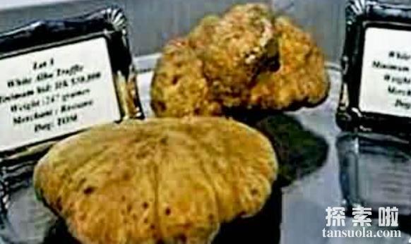 世界上最贵的蘑菇:巨型白地菇,20万一斤(有钱买不到)