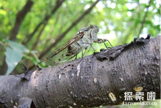 大夏天听蝉叫不停,不是因为天热,是为了求偶交配(图2)