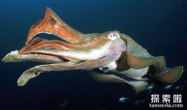 深海巨型乌贼,长相怪异的大王乌贼(体长达20米)