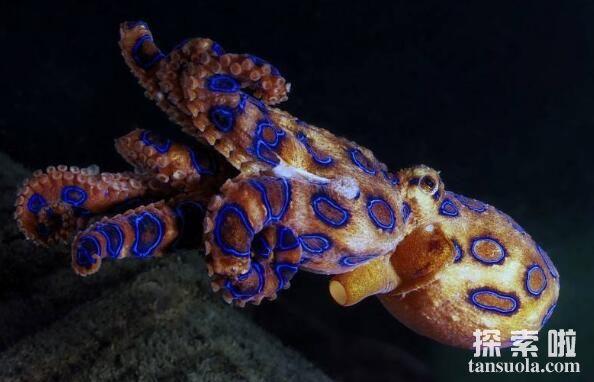 蓝环章鱼有多毒,一滴毒液秒杀十多人,遇到它躲着走