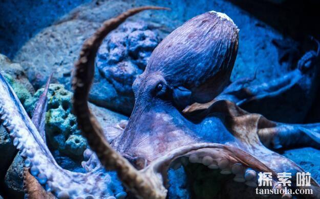 章鱼能活多久,章鱼的寿命最多不过五年