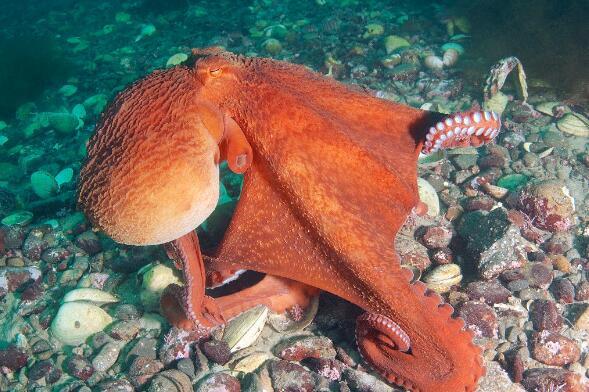 世界最大章鱼:北太平洋巨型章鱼,重71kg,会隐身寿命短
