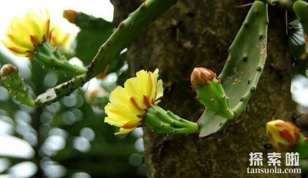 仙人掌会开花吗,开不开花全在你怎么养(图3)