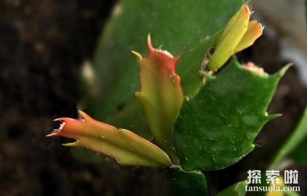 仙人掌的种类有哪些,仙人掌常见种类介绍(图4)