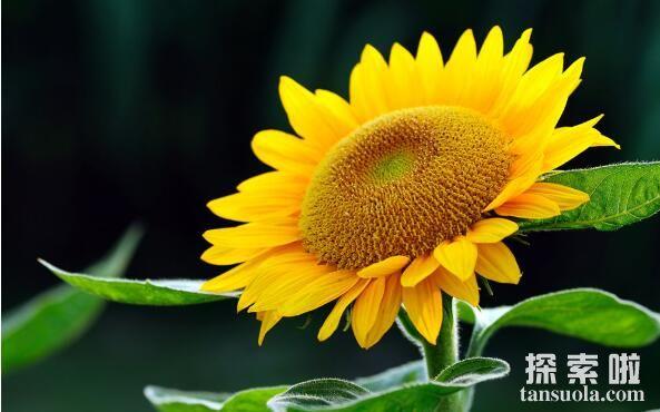 向日葵跟着太阳转的原因,生长素导致向光性弯曲(图1)