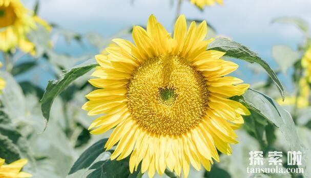向日葵跟着太阳转的原因,生长素导致向光性弯曲(2)