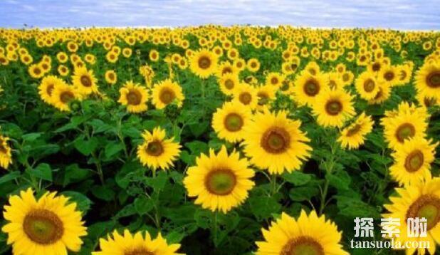 向日葵跟着太阳转的原因,生长素导致向光性弯曲(图3)