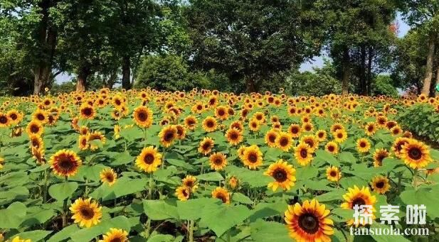 向日葵跟着太阳转的原因,生长素导致向光性弯曲(4)