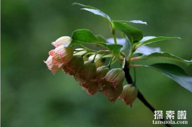 会发光的树灯笼树,叶子自燃发出冷光似灯笼(图2)