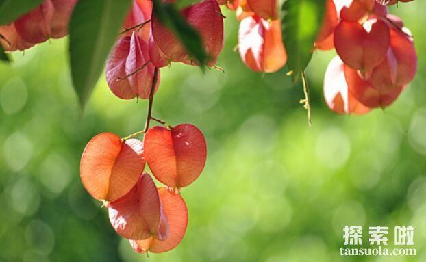会发光的树灯笼树,叶子自燃发出冷光似灯笼(图3)
