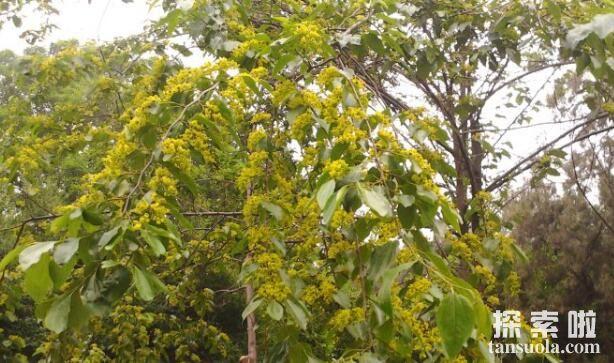 神奇的铜钱树:果实长得像铜钱,财气冲天(图2)