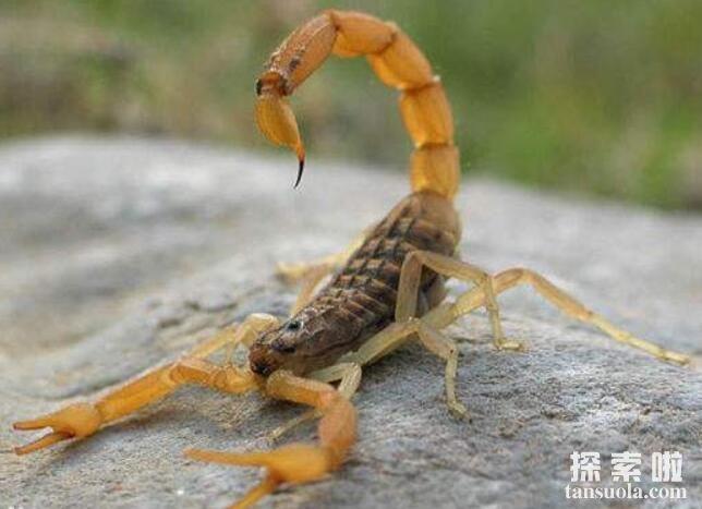世界十大致命毒蝎,利比亚金蝎性情最凶猛(2)