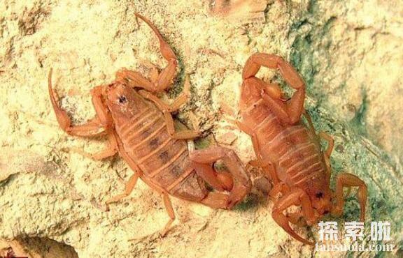 世界十大致命毒蝎,利比亚金蝎性情最凶猛(5)