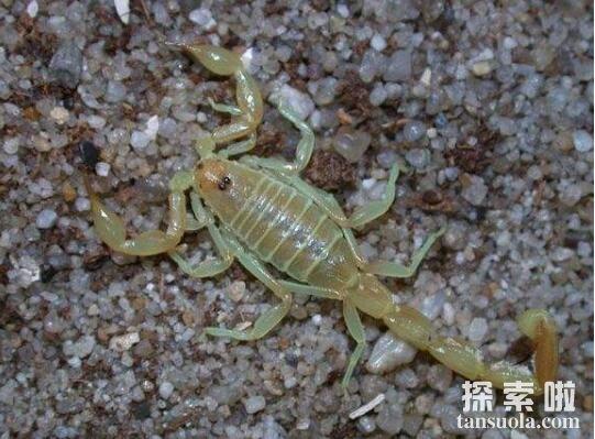 世界十大致命毒蝎,利比亚金蝎性情最凶猛(8)