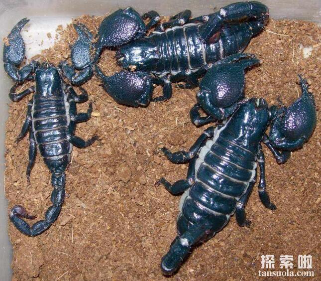 世界十大致命毒蝎,利比亚金蝎性情最凶猛(10)