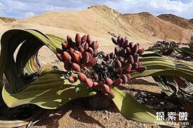 世界上最耐旱的植物千岁兰,5年不下雨照样能活(3)