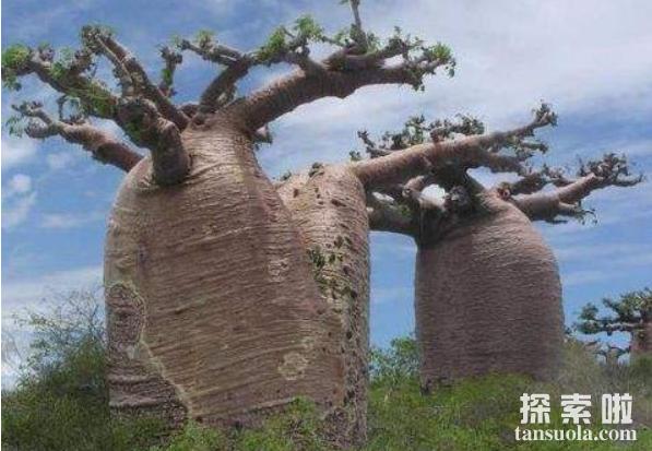 外形奇特的巴西纺锤树,沙海中的绿色水塔(2)
