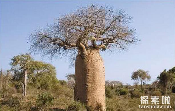 外形奇特的巴西纺锤树,沙海中的绿色水塔(3)