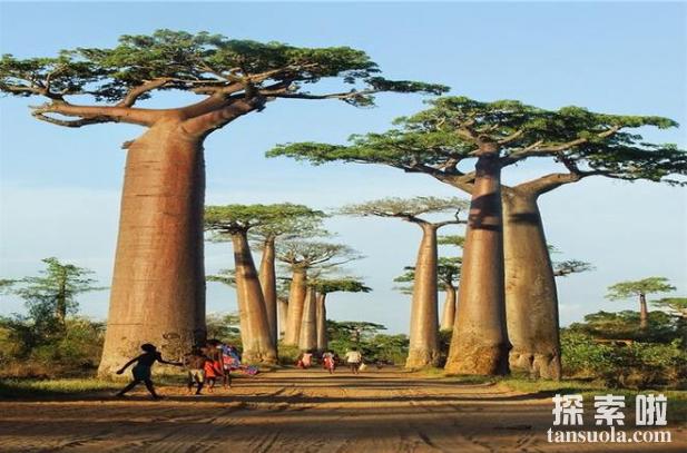 外形奇特的巴西纺锤树,沙海中的绿色水塔(5)