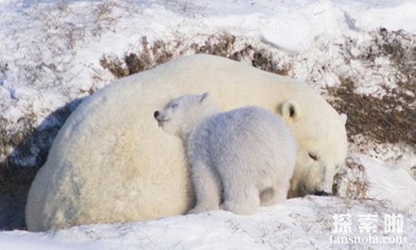 北极熊会冬眠吗,北极熊怎么冬眠?(1)