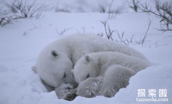 北极熊会冬眠吗,北极熊怎么冬眠?(2)