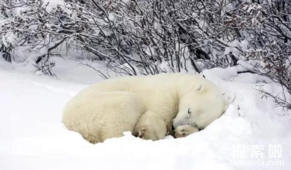 北极熊会冬眠吗,北极熊怎么冬眠?(3)