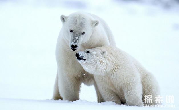 北极熊为什么不吃企鹅,不是心太软,是距离太远(1)