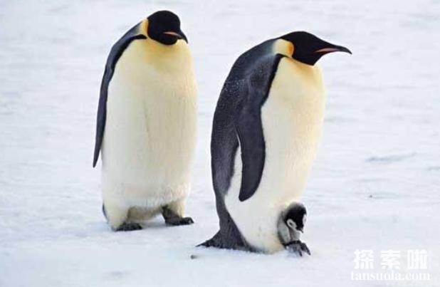 北极熊为什么不吃企鹅,不是心太软,是距离太远(2)