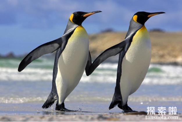 北极熊为什么不吃企鹅,不是心太软,是距离太远(5)