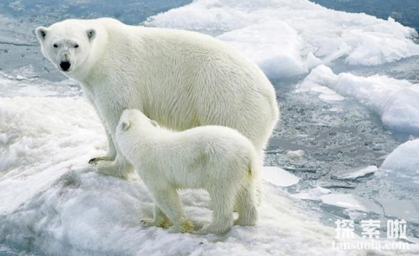 北极熊为什么不怕冷,毛多皮厚能隔热(1)