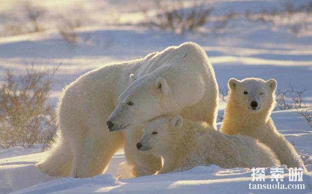 北极熊为什么不怕冷,毛多皮厚能隔热(3)