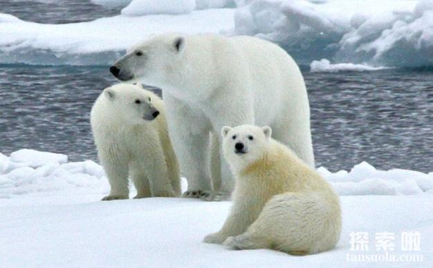 北极熊吃人吗,北极熊的天敌是什么(2)