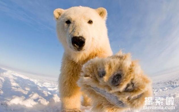 北极熊吃人吗,北极熊的天敌是什么(3)