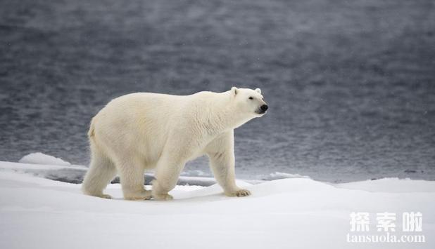 北极熊吃人吗,北极熊的天敌是什么(4)