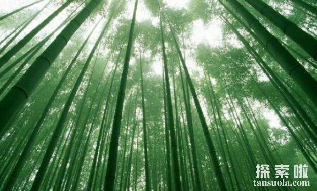 长得最快的植物:毛竹,两个月高达20米(2)