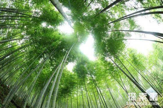 长得最快的植物:毛竹,两个月高达20米(3)
