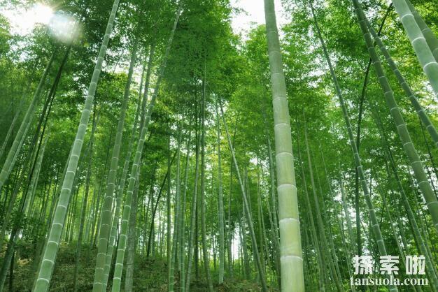 长得最快的植物:毛竹,两个月高达20米(5)
