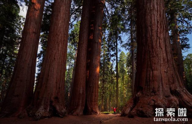 世界上体积最大的树:巨杉,树中巨人,直径12米(图3)