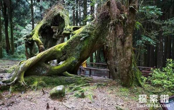 世界上生长最慢的树:尔威兹加树,100年仅长高30厘米(图4)