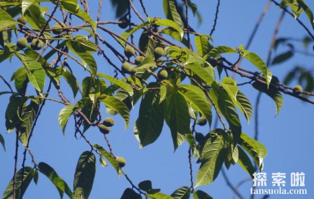 世界上最毒的树:箭毒木,见血封喉,五步毙命(图2)