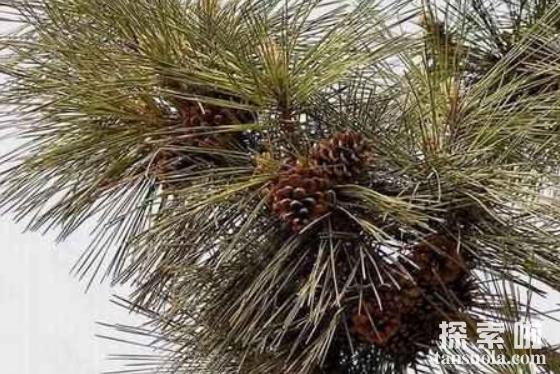 抗紫外线能力最强的植物:南欧黑松,直射635小时仍没事(图3)