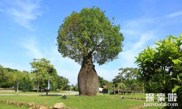 贮水本领最大的树:纺锤树,一棵纺锤树的水,够四人喝半年(图1)