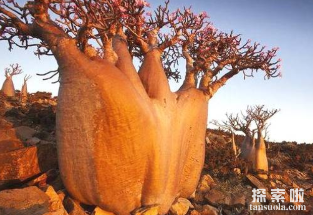 贮水本领最大的树:纺锤树,一棵纺锤树的水,够四人喝半年(图2)