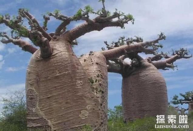 贮水本领最大的树:纺锤树,一棵纺锤树的水,够四人喝半年(图3)