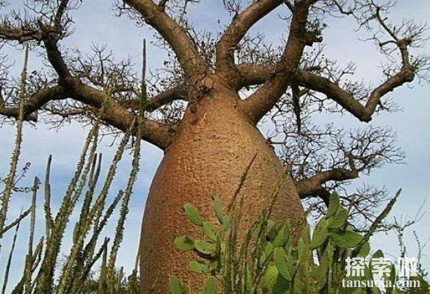 贮水本领最大的树:纺锤树,一棵纺锤树的水,够四人喝半年(图4)