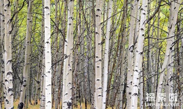 最不怕冷的种子植物:白桦树,耐得住零下195℃的低温(图2)