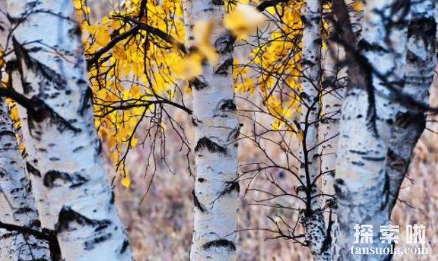 最不怕冷的种子植物:白桦树,耐得住零下195℃的低温(图4)